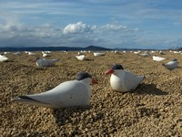 Caspian tern decoys used to attract terns to nest