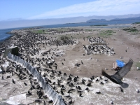 East Sand Island cormorant colony