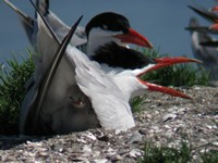 Caspian tern nesting on Brooks Is.
