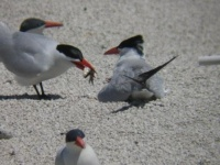Adult tern feeding chick at Dutchy Lake tern colony