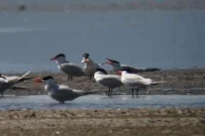 Caspian terns foraging from a standing postion in Goose Lake